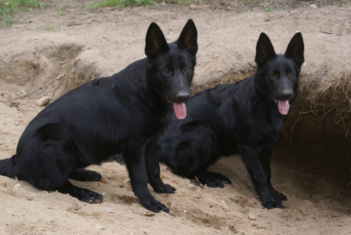 ciobanesc-german-negru-7