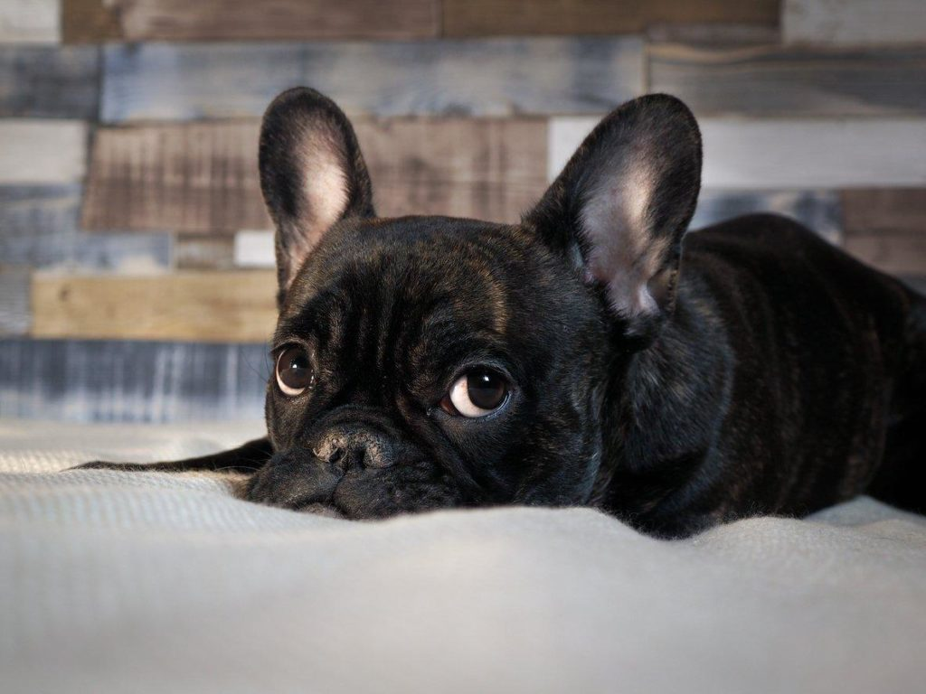 bulldog-francez