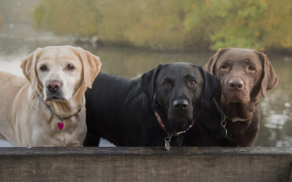Trei Labradori Retriever de culori diferite gata de vânătoare