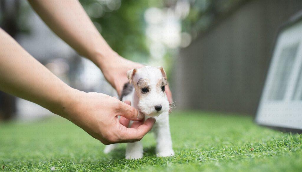 Pui de Fox Terrier cuprins în palmele stăpânului