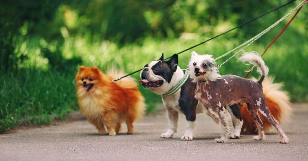 Trei câini în lesă scoși la plimbare