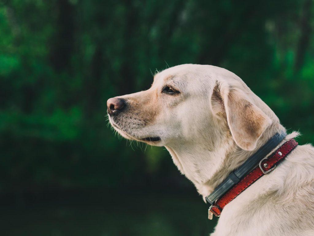 Labrador purtând zgarda antiparazitară Foresto
