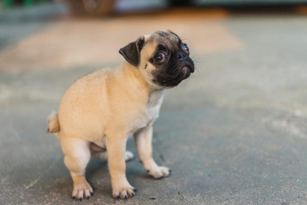 Pui de câine afectat de diaree