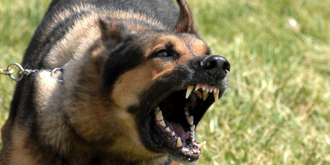Ciobănesc german își arată colții amenințător